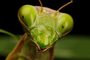 Mantis Portrait I by dalantech