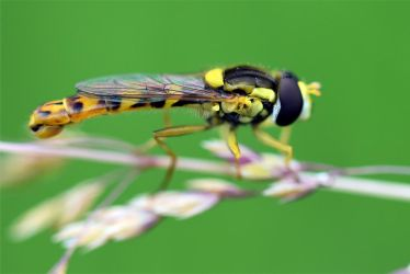 0543 Hoverfly by RealMantis