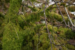 Mossy tree 2 by Ciuva
