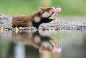Hamster and Rose by JulianRad