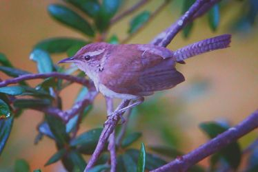 Western House Wren by clippercarrillo