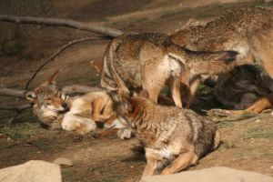 How Many Red Wolves Do You See by DancingCavy