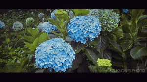 Hydrangea by Know-chan