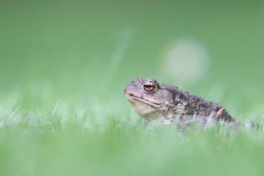 Common Toad by Monastor