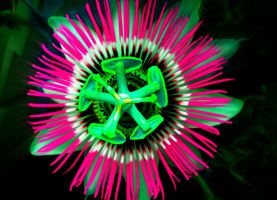 Passiflora pink by flyr737