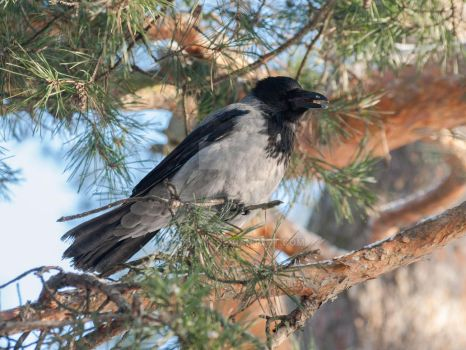 Hooded crow by 75ronin