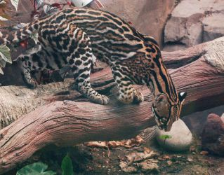 OCELOT by collideral