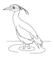 Yellow-crowned Night Heron Outline by usedbooks