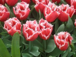 Different Tulips by alazada9855