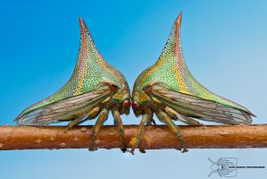 Thorn treehopper - Umbonia crassicornis by ColinHuttonPhoto