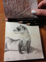 2017-02-01 Mustela nigripes (black-footed ferret) by Sillageuse