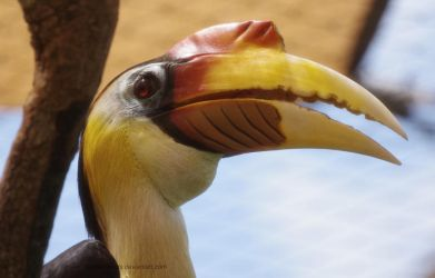 Portrait of a Hornbill 2 by SilkenWinds