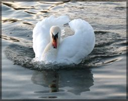 swan.:17 by steeerne
