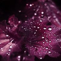 Velvet Touch by Lilyas