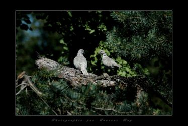 Cute birds by laurentroy