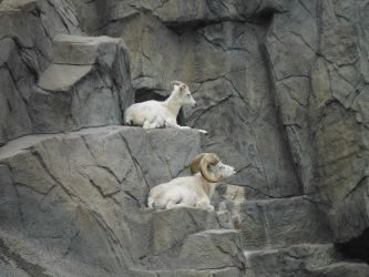 Dall Sheep by TomRedlion