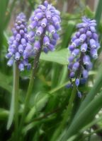 Muscari by cleo72