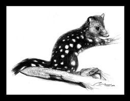 spotted-tailed quoll by evelynorellana