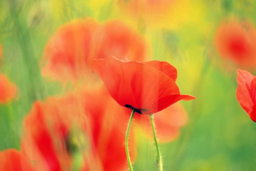 image of poppy-field by SvitakovaEva