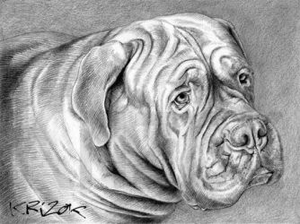 DONALD - Dogue from  Bordeaux by krizok