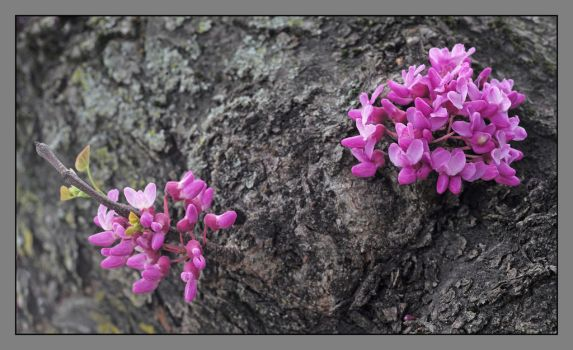 Redbuds. L1000378, with story by harrietsfriend