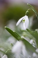 Snowdrop March 2010 by mindPlant