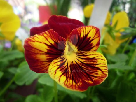 Red and Yellow Pansy by Emmabro14