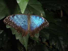 Blue Butterfly by Shirabelle