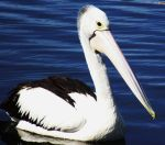 pelican  2 by talentwithin
