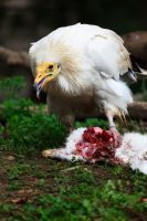 Egyptian Vulture (neophron percnopterus) 40 by dkbarto