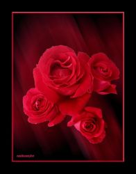 Rose rot by rembrantt
