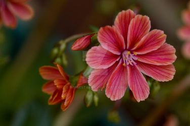 Lewisia by Imagestar