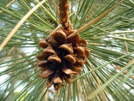 Exploring Terra Photo - Pine Cone 1 by akaLOLCat