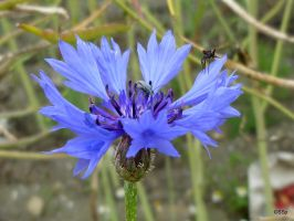 Cornflower by Lionpelt-66