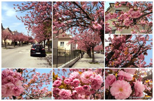 Cherry Blossom Street by SuspiciousTeacup