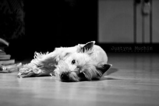 Calm westie by Yuveza