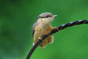 Nuthatch by doublejaybear