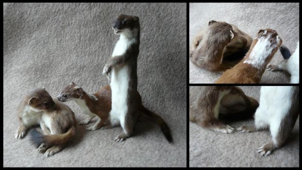 A Pack of Stoats by CabinetCuriosities
