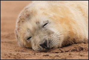 Seal Pup Fast Asleep by nitsch