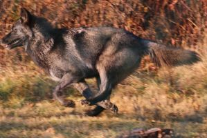 Gray Wolf Stock 38: Running wolf drawing reference by HOTNStock