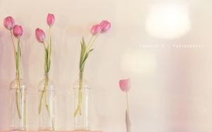 Pink tulips by chealse