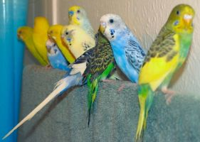 budgie line-up by sataikasia