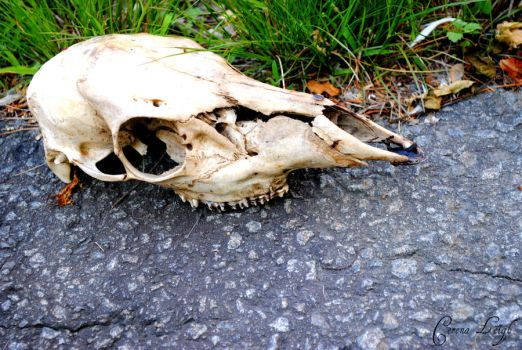 Deer Skull in the Grass by CerenaLeigh