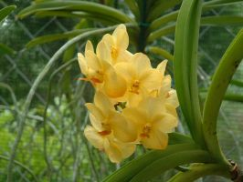 yellow orchid by nwinder