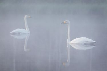 Swans in morning mist by Sara-Roth
