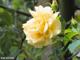 Yellow Rose by SymphonicA19