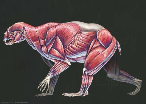 Arctodus Simus Muscle Study (No Labels) by TheDragonofDoom