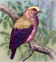 Greater Yellow-Capped Trans-Draconian Fig Dove by WillemSvdMerwe
