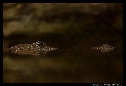 Croc Reflection by TVD-Photography