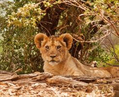 Lion Cub by daniellepowell82